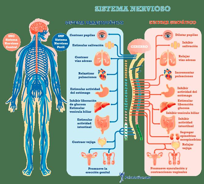 Imagen del sistema nervioso simpático y para simpático para explicar la ansiedad