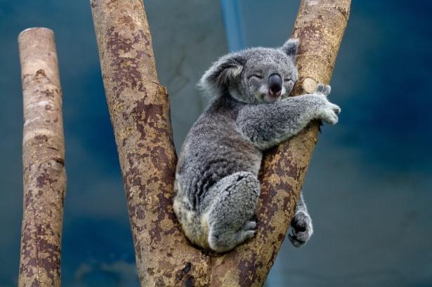 koala dormido